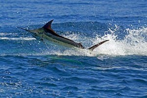 CostaRica-BlueMarlin-Fish